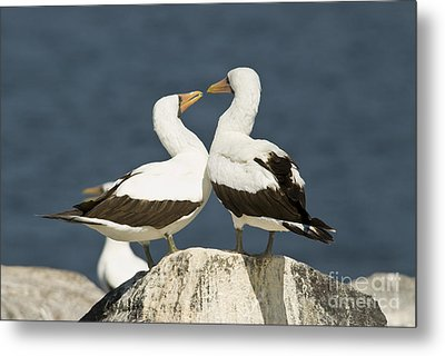Nazca Booby Pair Metal Print by William H. Mullins