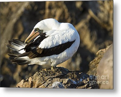 Nazca Booby Preening Metal Print by William H. Mullins