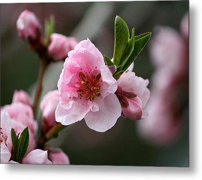 Nectarine Blossom Metal Print