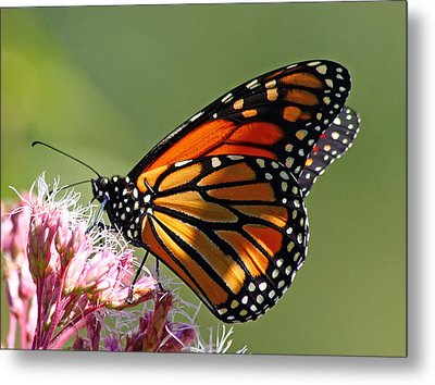 Metal Print featuring the photograph Nectaring Monarch Butterfly by Debbie Oppermann