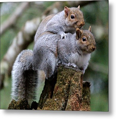 Fifty Shades Of Gray Squirrel Metal Print