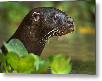 Neotropical Otter Lontra Longicaudis Metal Print by Panoramic Images