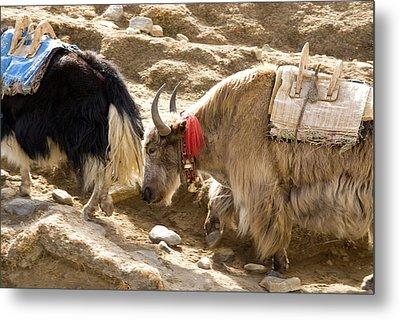 Nepal Yak Move Along The Everest Base Metal Print by David Noyes