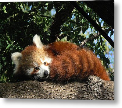 Nepalese Red Panda Metal Print