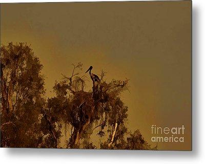 Nesting Jabiru  Metal Print by Douglas Barnard