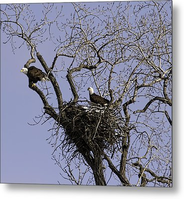 Nesting Pair Of American Bald Eagles 1 Metal Print by Thomas Young