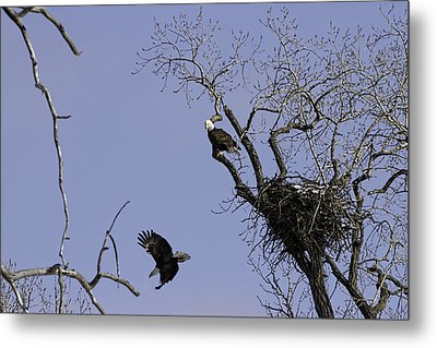 Nesting Pair Of American Bald Eagles 2 Metal Print by Thomas Young