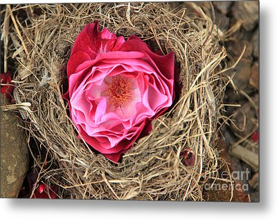 Nesting Rose Metal Print by Jeanette French