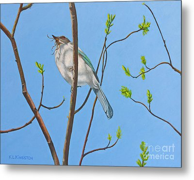 Nesting Scrub Jay Metal Print by K L Kingston