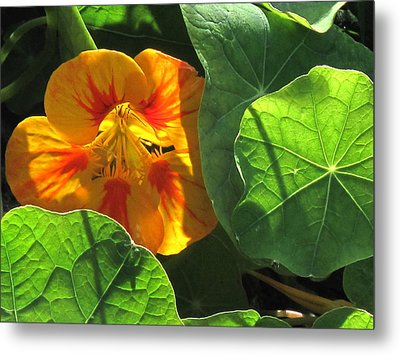 Metal Print featuring the photograph Nestled Nasturtium by Suzy Piatt