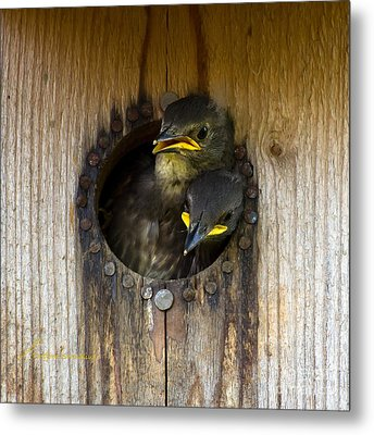 Nestling Starlings Metal Print