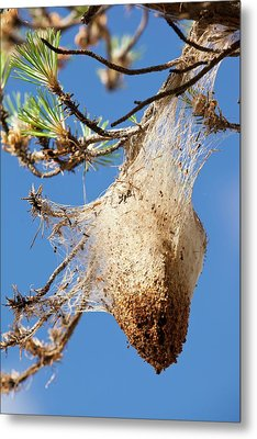 Nests Of Pine Processionary Caterpillar Metal Print by Ashley Cooper