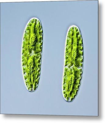 Netrium Oblongum Green Algae Metal Print