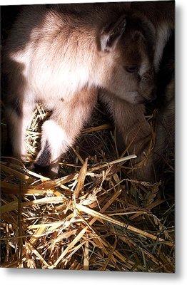 New Born Baby Goat Metal Print by Nickolas Kossup