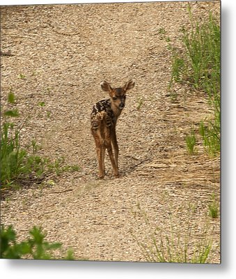 New Born Mule Deer Metal Print by Daniel Hebard