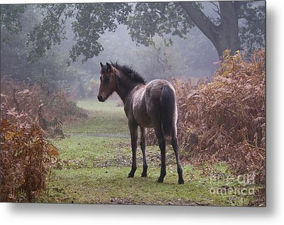 New Forest Pony Metal Print by Dave Pressland FLPA
