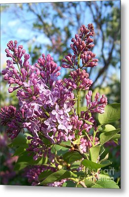 Purple Lilac Metal Print by Eunice Miller