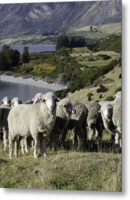 New Zealand Sheep Metal Print