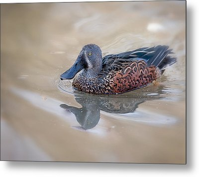 New Zealand Shoveler Metal Print