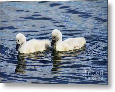 Metal Print featuring the photograph Newborn Mute Swans by Alyce Taylor