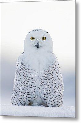 Nh Seacoast Snowy Owl  Metal Print by John Vose