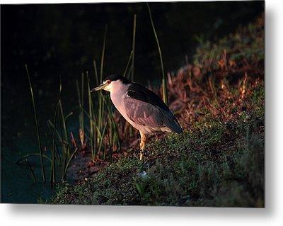 Night Heron  Metal Print