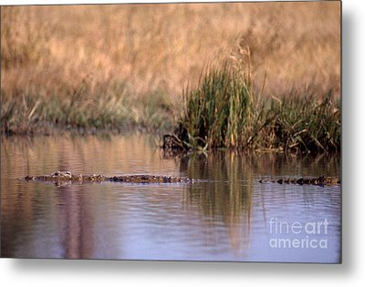 Nile Crocodile Metal Print by Gregory G. Dimijian, M.D.