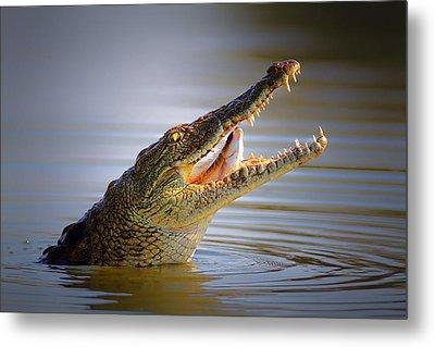 Nile Crocodile Swollowing Fish Metal Print