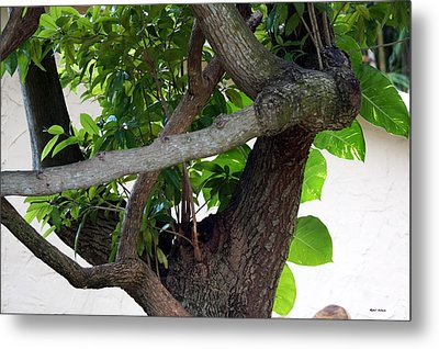 Metal Print featuring the photograph Nispero Tree by Rafael Salazar