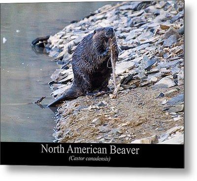 North American Beaver Metal Print by Chris Flees