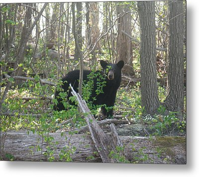 North American Black Bear Metal Print