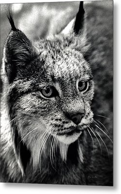 North American Lynx In The Wild. Metal Print by Bob Orsillo