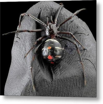 Northern Black Widow Spider Metal Print