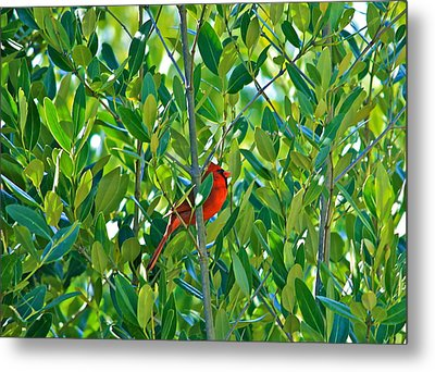 Northern Cardinal Hiding Among Green Leaves Metal Print by Cyril Maza