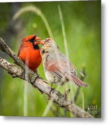 Northern Cardinal Male And Female Metal Print