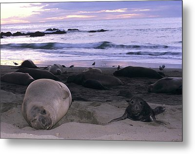 Northern Elephant Seal Cow And Pup At Sunset Metal Print by Don Kreuter