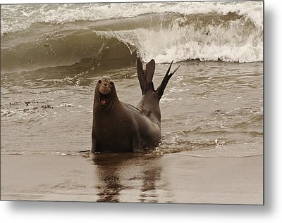 Metal Print featuring the photograph Northern Elephant Seal by Lee Kirchhevel