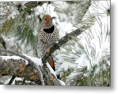 Northern Flicker On Snowy Pine Metal Print