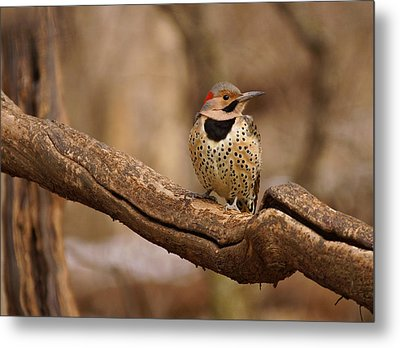Northern Flicker Metal Print by Sandy Keeton