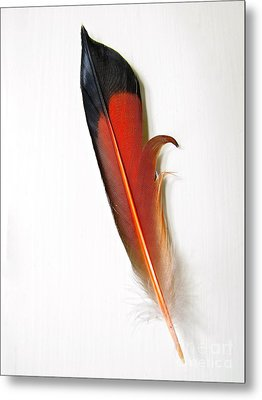 Northern Flicker Tail Feather Metal Print by Sean Griffin