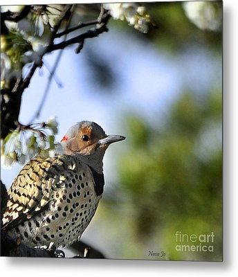 Northern Flicker Woodpecker Metal Print by Nava Thompson