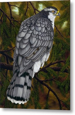 Northern Goshawk Metal Print by Rick Bainbridge