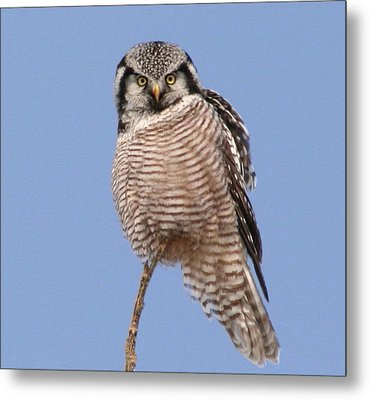 Northern Hawk Owl  Metal Print by Larry Trupp