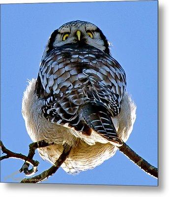 Northern Hawk Owl Looks Around Metal Print