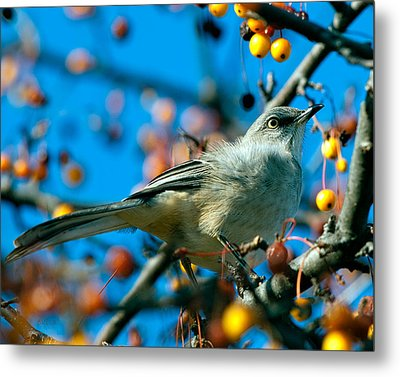 Northern Mockingbird Metal Print by Bob Orsillo