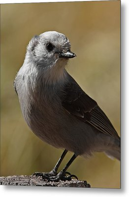 Northern Mockingbird Metal Print by Ernie Echols
