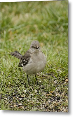Northern Mockingbird Metal Print by Heather Applegate