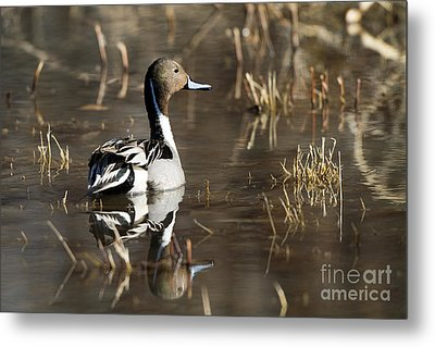 Handsome Northern Pintail Metal Print by Martha Marks