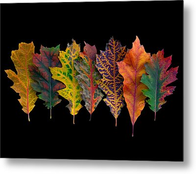 Northern Red Oak Leaves In Autumn Metal Print by Frans Hodzelmans