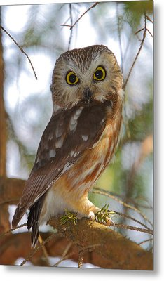 Northern Saw-whet Owl Metal Print by Bruce J Robinson